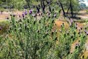 Schopf-Lavendel (Lavandula stoechos)