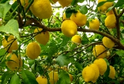 Zitronen-Fülle