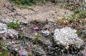 Haubenlerche (Galerida cristata)