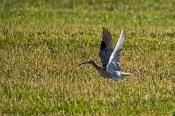Großer Brachvogel-Abflug