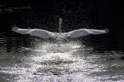 Höckerschwan-Landung