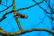 Kleispecht (Dendrocops minor)